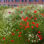 Wildflower meadow, Rotherham