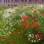 Wildflower meadow, Rotherham