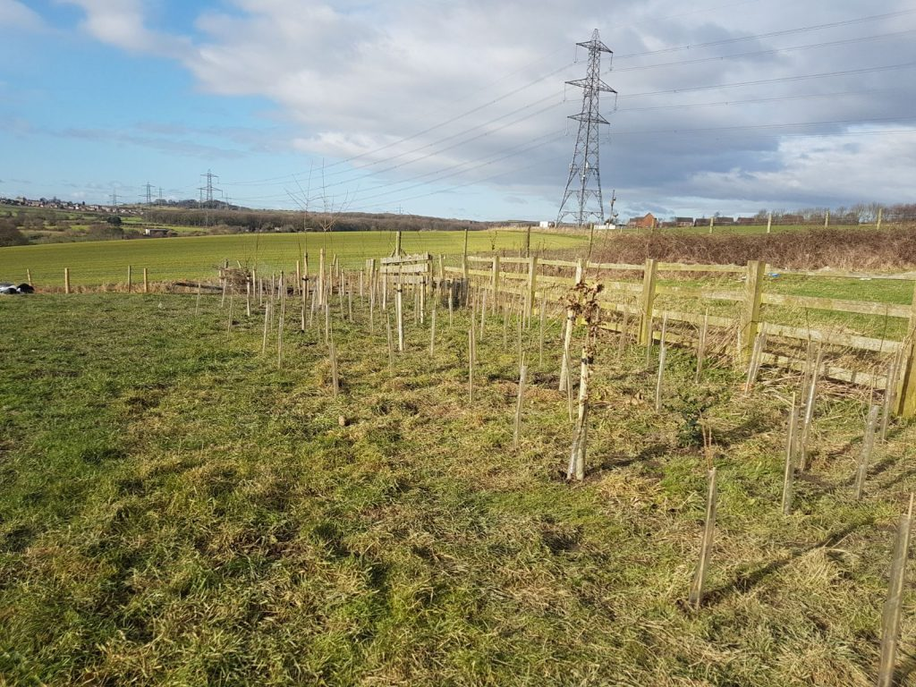Haigh Hall Solar Farm hedge planting 4
