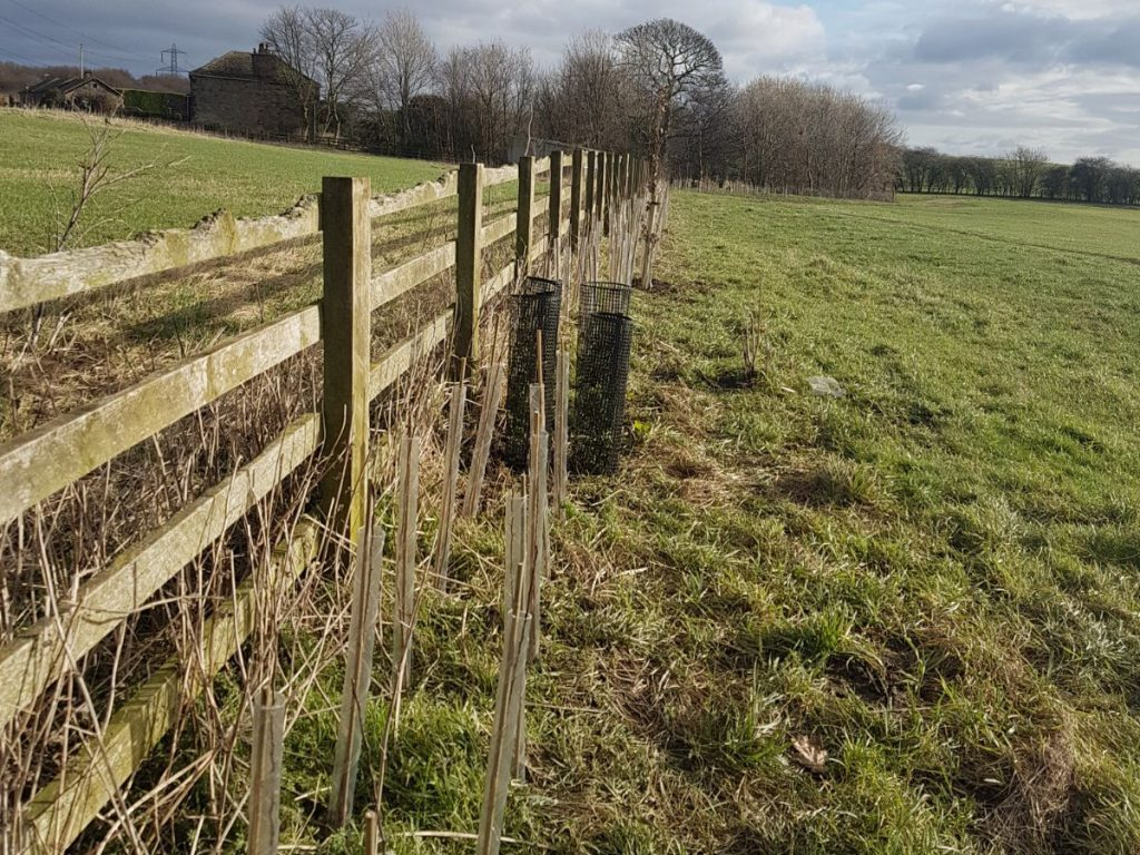 Haigh Hall Solar Farm hedge planting 3